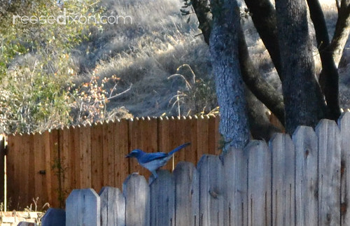 Backyard Blue Bird