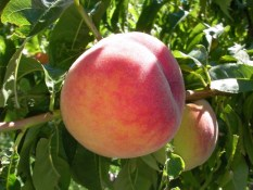 Rustic Roots - Red Haven Peach