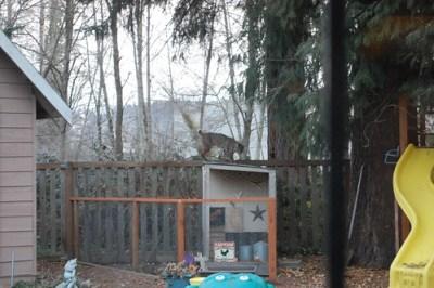 bobcat attaching chicken coop