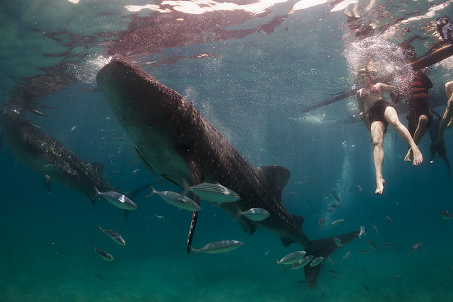 Whale Shark Watchers
