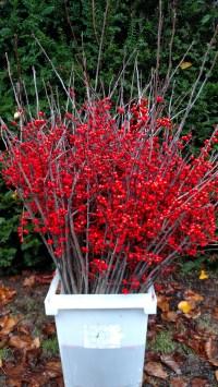 冬青属植物冬天树枝