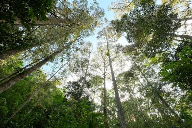The durian forest. Sawai, Pulau Seram