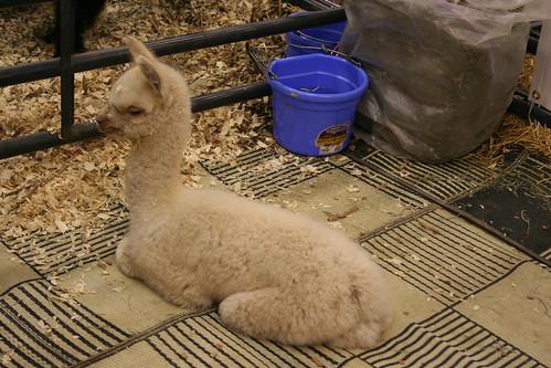 baby llama-like animal