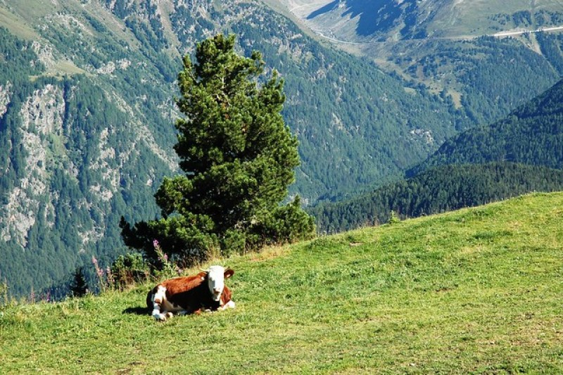 Hiking: A cow resting in Oetztal in the Austrian region of Tyrol.