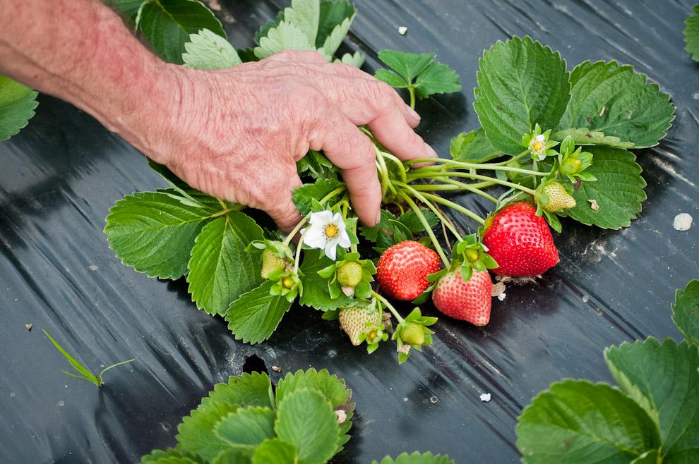 Un productor nos muestra la planta de frutilla, con sus frutas y flores en una huerta de Estanzuela cerca de la ciudad de Itauguá. (Elton Núñez)
