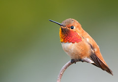 Rufous Hummingbird Male Hummingbirds