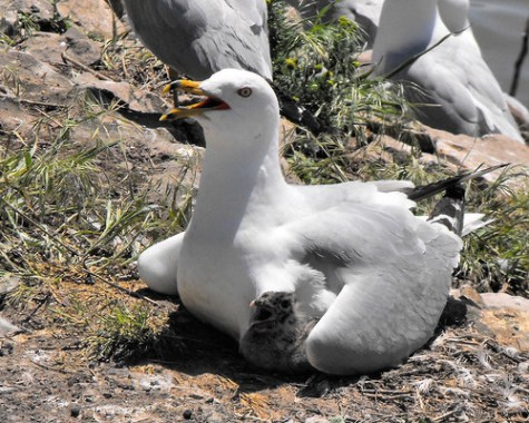 Ring-billed Gull with young