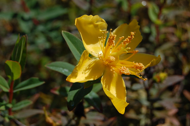 Hypericum forrestii - St. John's Wort