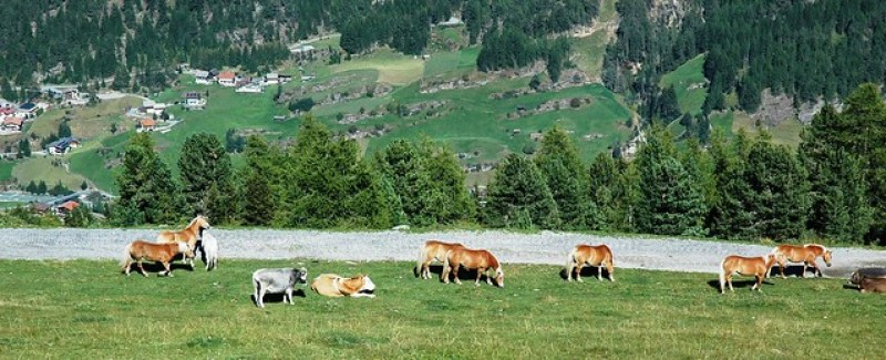 Hiking: Cows and horses grazing in Oetztal in the Austrian region of Tyrol.