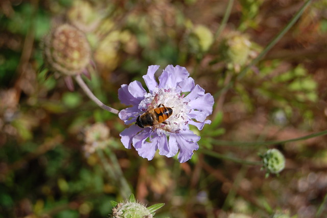 Scabiosa japonica - Pincushion Flower