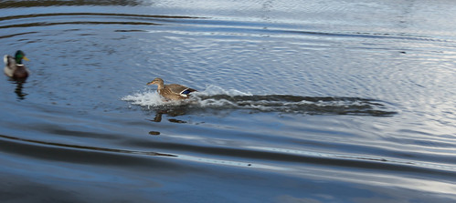 Duck landing, Birmingham-Worcester Canal • <a style=&quot;font-size:0.8em;&quot; href=&quot;http://www.flickr.com/photos/69544236@N04/6996393139/&quot; target=&quot;_blank&quot; data-recalc-dims=