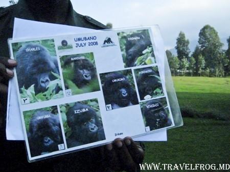 Руанда, синие гориллы.