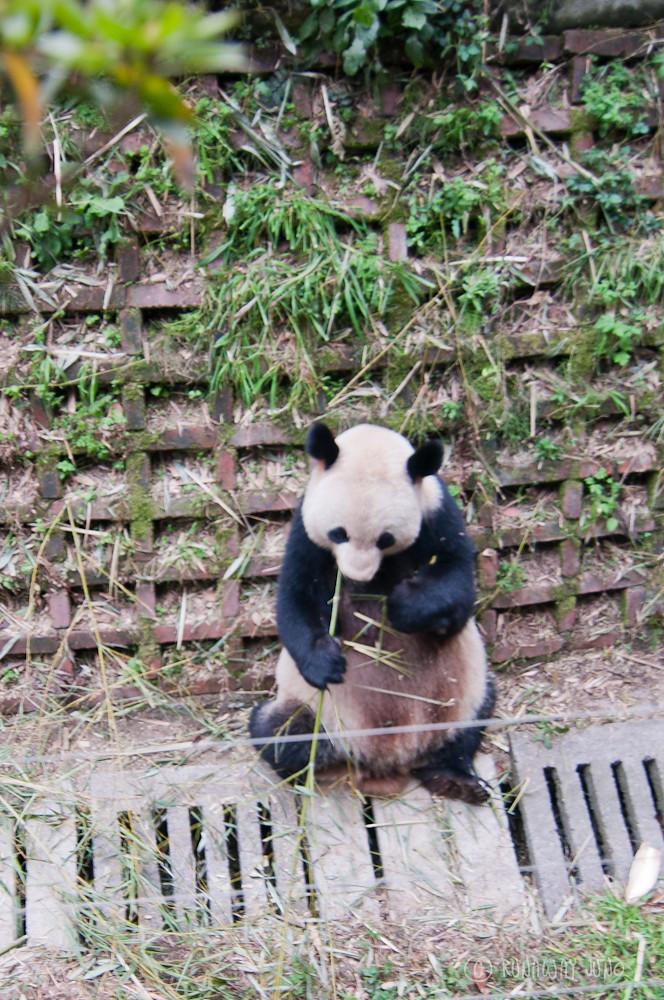 Mommy_Panda_Chengdu_Sichuan_China