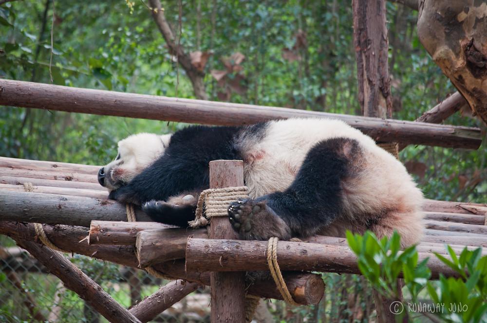 Panda_sleeping_Chengdu_Sichuan_China