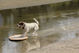 Skim boarding dog, Tofino