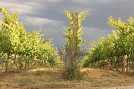 Okanagan Crush Pad | Vines in the sun
