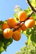 Okanagan apricots
