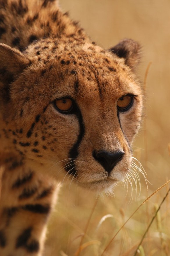 Cheetah, Stalking by RyanTaylor1986, on Flickr