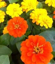 Orange and Yellow Magellan Zinnias