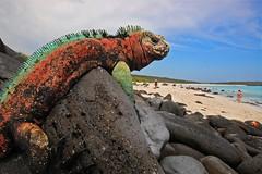 Marine Iguana, Espanola Island, Galapagos