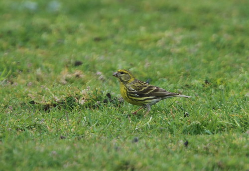 """Serin, Lands End, 09.05.16 (M.Halliday) • <a style=""""font-size:0.8em;"""" href=""""http://www.flickr.com/photos/30837261@N07/26313484494/"""" target=""""_blank"""">View on Flickr</a>"""
