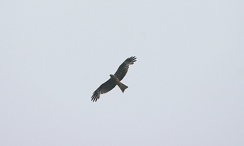 """Black Kite, Drift, 25.06.16 (D.Stone) • <a style=""""font-size:0.8em;"""" href=""""http://www.flickr.com/photos/30837261@N07/27025244150/"""" target=""""_blank"""">View on Flickr</a>"""