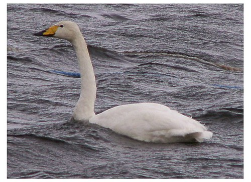 """Whooper Swan • <a style=""""font-size:0.8em;"""" href=""""http://www.flickr.com/photos/30837261@N07/10722895165/"""" target=""""_blank"""">View on Flickr</a>"""