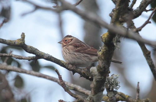 """Little Bunting, Gulval, 12.02.15 (M.Halliday) • <a style=""""font-size:0.8em;"""" href=""""http://www.flickr.com/photos/30837261@N07/16525016532/"""" target=""""_blank"""">View on Flickr</a>"""