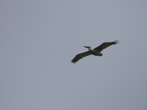 """Dalmatian Pelican, Catchall, 14.05.16 (D.Flumm) • <a style=""""font-size:0.8em;"""" href=""""http://www.flickr.com/photos/30837261@N07/26401529063/"""" target=""""_blank"""">View on Flickr</a>"""