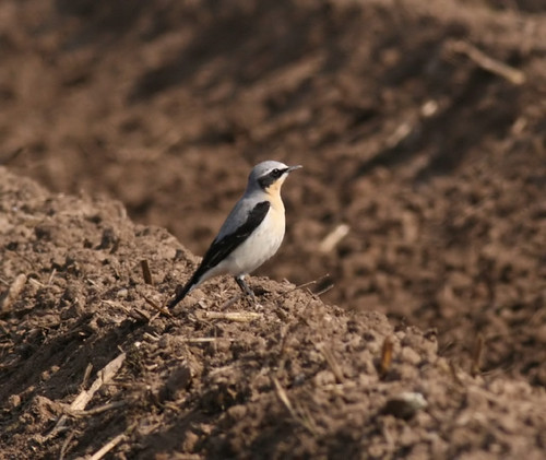 """Wheatear • <a style=""""font-size:0.8em;"""" href=""""http://www.flickr.com/photos/30837261@N07/10723338436/"""" target=""""_blank"""">View on Flickr</a>"""