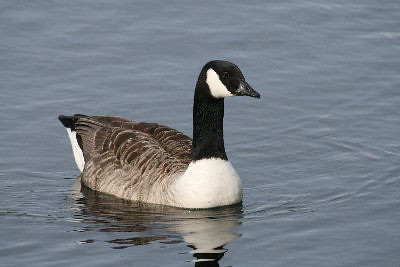 """Canada Goose • <a style=""""font-size:0.8em;"""" href=""""http://www.flickr.com/photos/30837261@N07/10722897005/"""" target=""""_blank"""">View on Flickr</a>"""