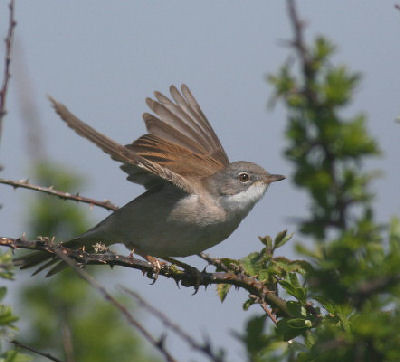 "Whitethroat • <a style=""font-size:0.8em;"" href=""http://www.flickr.com/photos/30837261@N07/10723343313/"" target=""_blank"">View on Flickr</a>"