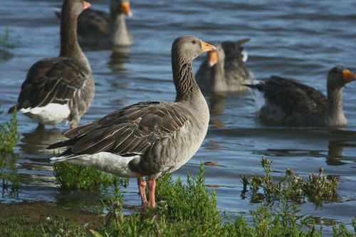 """Greylag Goose • <a style=""""font-size:0.8em;"""" href=""""http://www.flickr.com/photos/30837261@N07/10723184103/"""" target=""""_blank"""">View on Flickr</a>"""