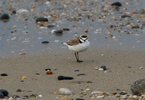 """Kentish Plover, Marazion, 24.04.16 (M.Halliday) • <a style=""""font-size:0.8em;"""" href=""""http://www.flickr.com/photos/30837261@N07/26555699130/"""" target=""""_blank"""">View on Flickr</a>"""