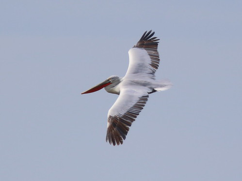 """Dalmatian Pelican, Lands End, 09.05.16 (M.Halliday) • <a style=""""font-size:0.8em;"""" href=""""http://www.flickr.com/photos/30837261@N07/26885448096/"""" target=""""_blank"""">View on Flickr</a>"""