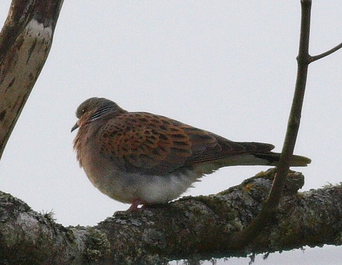 """Turtle Dove, Rame Barton, 09.06.2016 (C.Buckland) • <a style=""""font-size:0.8em;"""" href=""""http://www.flickr.com/photos/30837261@N07/26918887375/"""" target=""""_blank"""">View on Flickr</a>"""