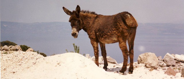 Cute donkey and the deep, blue sea, Lesbos, Greece