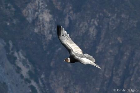 Condor, Arequipa