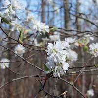Ozarks Flowering Tree: Downy Serviceberry