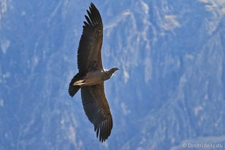 Condor , Arequipa - Peru