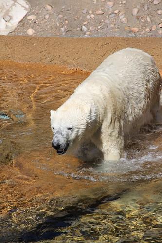 Denver\'s polar bears