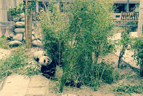 Giant Panda Breeding Base- Chengdu, China.jpg