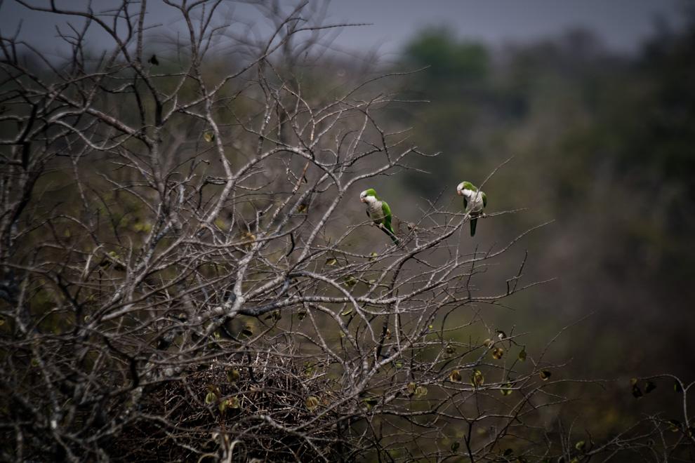 La Cotorrita común o (Myiopsitta monachus) es la especie de cotorra que más abunda en el país. Son bastante sociables y viven en colonias construyendo nidos en variedad de tamaños dependiendo de la cantidad de parejas. (Tetsu Espósito)