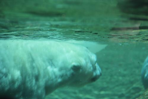 Denver\'s Polar Bears!