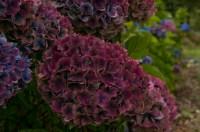 勃艮第古董绣球花