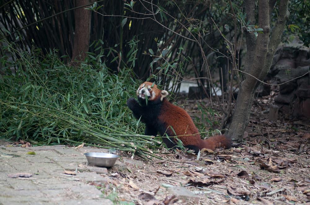Red_Panda_Eating_Chengdu_Sichuan_China2
