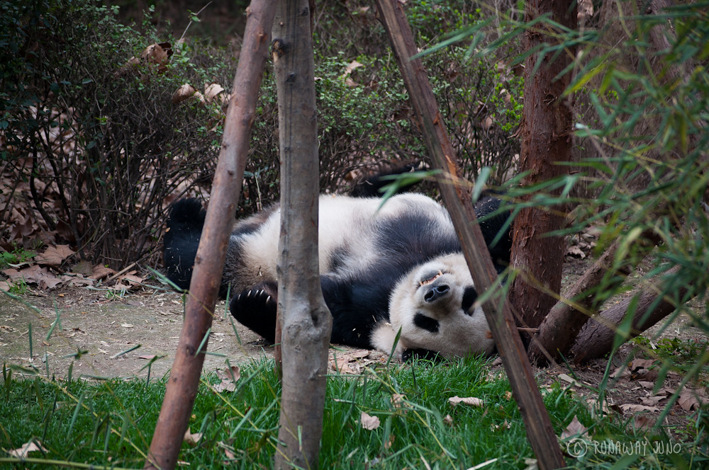 Sleeping_Panda_Chengdu_Sichuan_China