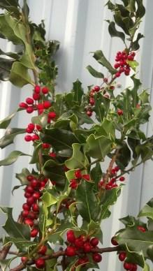 绿冬青和红浆果