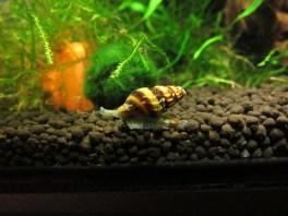 Assassin Snail