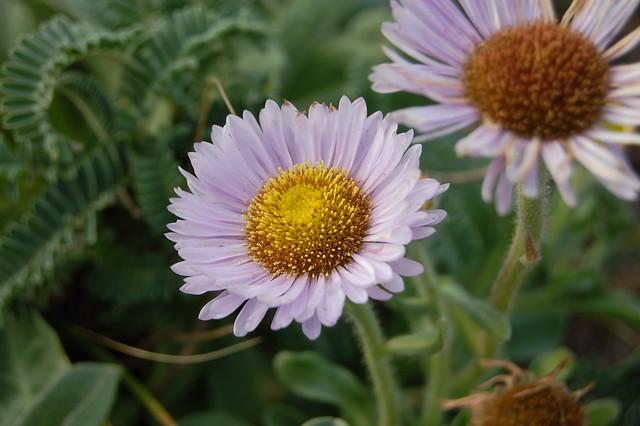 Erigeron glaucus - Seaside Daisy